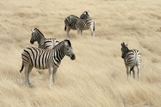 Free Zebras In The Savanna Stock Image - 10290471