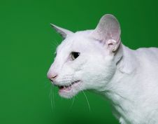 Free White Cat With Green Eyes. Royalty Free Stock Photos - 10293258