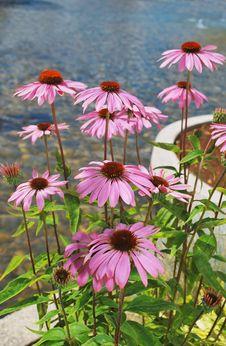 Free Pink Daisy. Royalty Free Stock Image - 10293506
