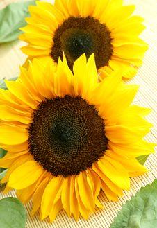 Free Sunflowers Royalty Free Stock Image - 10293806