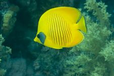 Free Masked Butterflyfish Stock Photo - 10294490