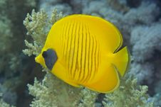 Free Masked Butterflyfish Royalty Free Stock Photos - 10294498