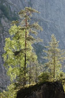 Free Pine Trees On A Cliff Royalty Free Stock Photo - 10294595