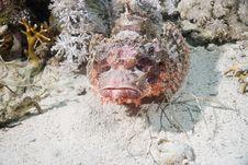 Free Smallscale Scorpiofish Stock Images - 10294654