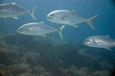 Free Golden Trevally Royalty Free Stock Photography - 10294707