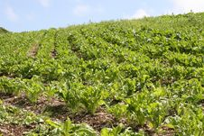 Free Cabbage Plantation On Irish Hills Royalty Free Stock Photo - 10294785