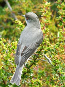 Free Grey Bird Stock Photos - 10295263
