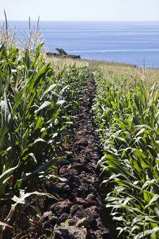 Free Stone Wall In Corn Field Stock Image - 10295451