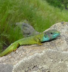 Free Green Lizard Royalty Free Stock Photo - 10295545