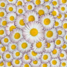 Free Daisies Royalty Free Stock Image - 10295936