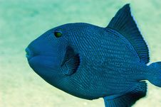 Free Blue Triggerfish Stock Images - 10296094