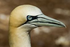 Free Northern Gannet Royalty Free Stock Image - 10296186