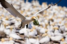 Free Northern Gannet In Flight Stock Photos - 10296193