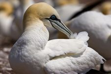 Free Northern Gannet Stock Photo - 10296250
