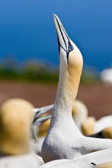 Free Northern Gannet Royalty Free Stock Photography - 10296257