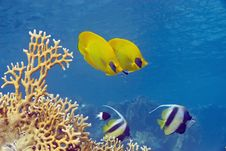Free Butterflyfish And Bannerfish Stock Photo - 10296470