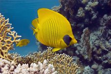 Free Masked Butterflyfish Stock Image - 10296501