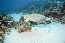 Free Hawksbill Turtle Royalty Free Stock Photography - 10296537
