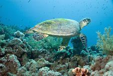 Free Hawksbill Turtle Stock Image - 10296541
