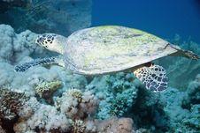 Free Hawksbill Turtle Stock Image - 10296551
