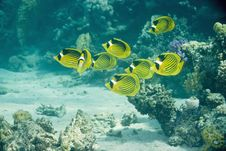 Free Raccoon Butterflyfish Stock Photos - 10296563