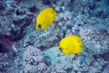 Free Masked Butterflyfish Royalty Free Stock Photos - 10296648