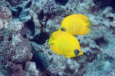 Free Masked Butterflyfish Royalty Free Stock Photography - 10296657