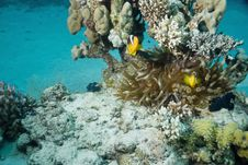 Free Bubble Anemone And Anemonefish Stock Image - 10296831