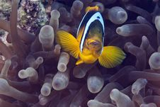 Free Bubble Anemone And Anemonefish Stock Photos - 10296853