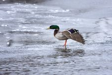 Free Mallard Looking Strange On Ice Royalty Free Stock Image - 10297096