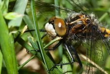 Free Dragonfly Hanging On To Grass Blades Royalty Free Stock Photo - 10297195