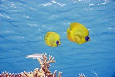 Free Masked Butterflyfish Royalty Free Stock Photography - 10298667