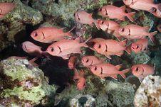 Free Blotcheye Soldierfish Royalty Free Stock Photos - 10298708
