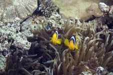 Free Bubble Anemone And Anemonefish Stock Images - 10298744