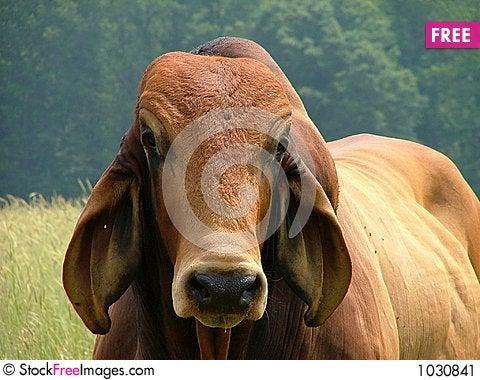 Free Rusty Red Brahama Bull Stock Image - 1030841