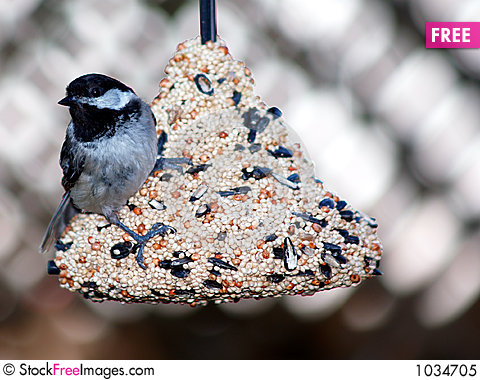 Free Black Hooded Chickadee Royalty Free Stock Photo - 1034705