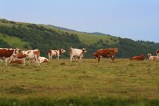 Free Cows Stock Photography - 1030182