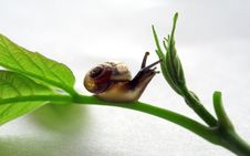 Free Snail Royalty Free Stock Photos - 1030328