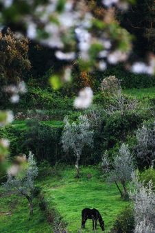 A Horse Pastures Among Olive Trees And Blossoming Apple Trees Royalty Free Stock Photo