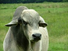 Free White Gray Brahma Bull Stock Photos - 1030813