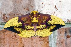 Free Yellow & Brown Moth Stock Image - 1031541