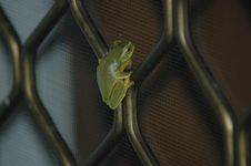 Free Green Tree Frog Stock Photo - 1032600