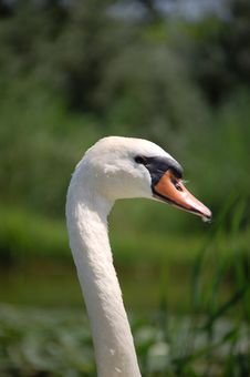 Free In The Eyes Of The Swan Stock Images - 1033024