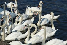 Free Swans Stock Photography - 1033212