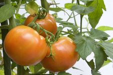 Free Red Tomatoes Royalty Free Stock Images - 1034589