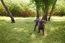 Free Chocolate Lab Royalty Free Stock Images - 1035309