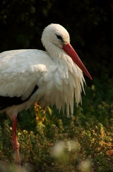 Free White Stork Blowing Its Feather Royalty Free Stock Photography - 1035467