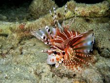 Zebra Lionfish Stock Image