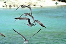 Free Marine Terns Flying Stock Images - 1035644