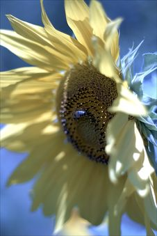 Free Sunflower Royalty Free Stock Image - 1035856